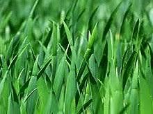 grass. Brilliant Grass Typical Grass Seen In Meadows On Grass A