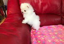 teacup pomeranian puppies for sale 250. Beautiful 250 PURE Teacup Pomeranian Puppies  With For Sale 250 E