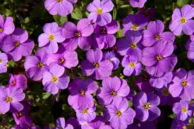 file mauve flowers 4541324498 jpg