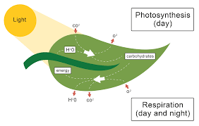 Photosynthesis Alphabet Chart The Role Of The Leaf In Photosynthesis Worksheet Edplace