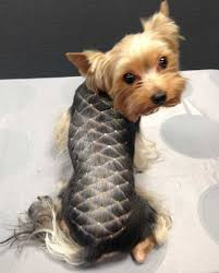 designer yorkie hairstyle picture