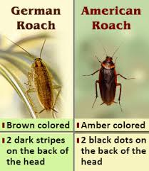 Roach Size Chart Difference Between American Roaches And German Roaches