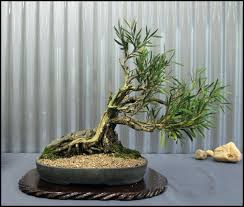 office bonsai. Interior Indoor Bonsai Tree Yacca In Planter Metal Stud Container Office Desk Plant Care