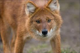 Small Picture dhole Natural History Page 2