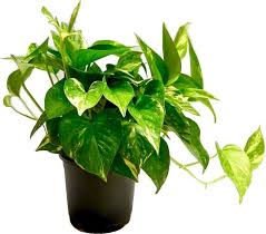 how to grow money plant at home care tips