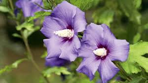 hibiscus flowers homelife hibiscus flowers