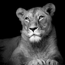 lioness black and white. Beautiful Lioness Free Shipping Portrait Of Lioness In Black And White Animal Art Print  Printed Oil Painting On Canvas Offer Effect Picturein U0026 Calligraphy  K