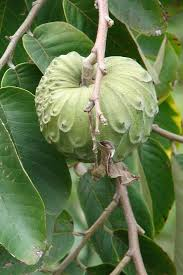 Vanilla Custard Sugar Apple Tree Annona Squamosa U2013 Kens NurseryAnnona Fruit Tree