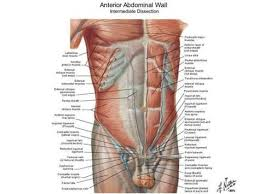 Muscle Chart Male Muscle Chart Male Stomach Muscle Diagram