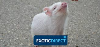 Mazuri Mini Pig Feeding Chart Mini Pig Diet Whats The Best Food For Your Pet Pig