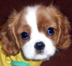 fosse the cavalier king charles spaniel pictures 12442 share this puppy