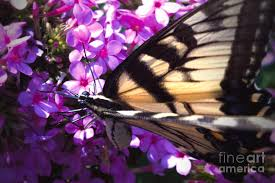 Eastern Tiger Swallowtail #2 Photograph by Aubrey Moat