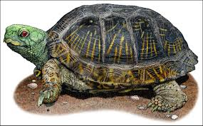Small Picture Desert Box Turtle Terrapene carolina luteola Line Art and Full