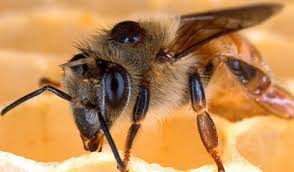 Varroa Mites And Associated Honey Bee Diseases More Severe