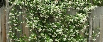 Confederate Jasmine Star Jasmine Trachelospermum JasminoidesWall Climbing Plants Southern California