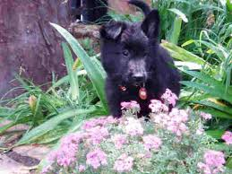 black groenendael belgian shepherd puppy amongst flowers