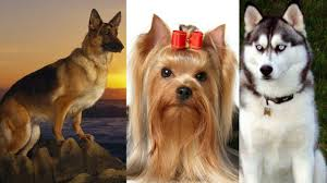 most beautiful dog breeds in the world. Fine The Top 10 Most Beautiful Dog Breeds In The World 20172018 Inside S