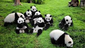 Image result for panda raksasa