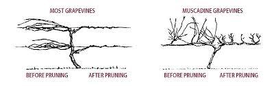 Pruning Grape Vines Stark Bros