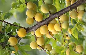 Kavey Eats » The National Fruit Collection Talking Pomology At Plum Fruit Tree Varieties