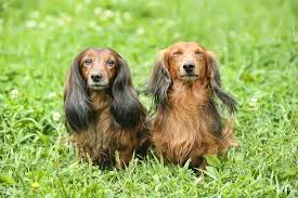 long haired dachshund care guide