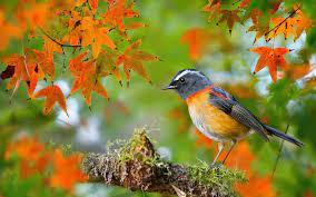 Autumn Birds Wallpapers - Top Free Autumn Birds Backgrounds -  WallpaperAccess