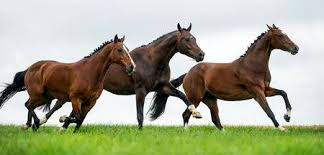 horses galloping in a field. Simple Galloping Horses Galloping In A Field Stock Photo  33642454 For Galloping In A Field