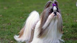 30 small hypoallergenic dogs that don t