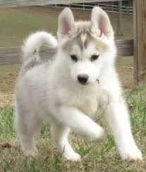 white and grey husky puppy. Perfect Puppy Siberrian Husky Puppies For XMas Adorption White And Grey Puppy I