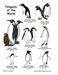 emperor penguin food chain. Brilliant Emperor Penguins Of The World Illustrated And Named Penguin Types Types Of Penguins  Food Webs On Emperor Chain H