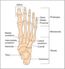 bone structure foot   anatomy human bodybone structure foot foot bone anatomy human anatomy diagram