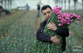 Israel supplies greenhouse growers with concrete bunkers A Palestinian man harvests carnations in a greenhouse in Rafah  in the  southern part of