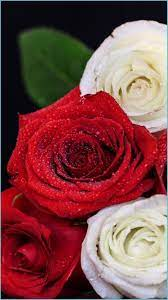 White Red Roses IPhone Wallpapers - Top ...