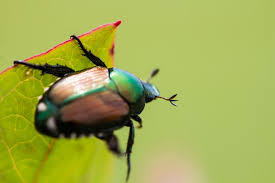 japanese beetles life cycle how to get rid of japanese beetles control bugs and garden pests