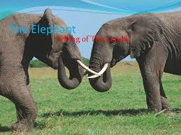 The Elephant King of The Land By: TF. - ppt download