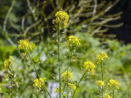 mustard flower essence vibrational