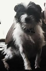 black and white terrier mix. Contemporary Terrier White With Black Wirehaired Terrier Mix Intended Black And Terrier Mix