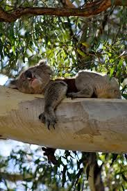 best koala bears images koala bears koalas and how much can a koala bear