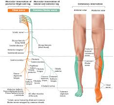 Nerve Chart Leg Peripheral Nervous System Spinal Nerves And Plexuses