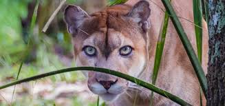 For the discussion of the florida panthers and all affiliates. Study Credits Texas Pumas For Reviving Florida Panthers Wusf Public Media