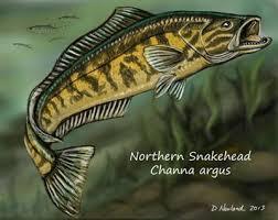 Logo Ikan Channa