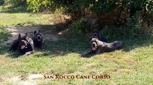 cane corso puppies for