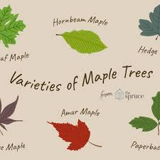 Leaf Color Chart For Sale 13 Beautiful Species Of Maple Trees