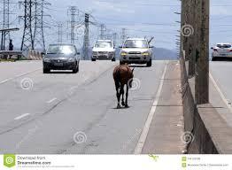 Segunda Via Light Rio De Janeiro Animal On The Road Editorial Stock Photo Image Of Animal