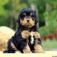bernedoodle miniature puppies for
