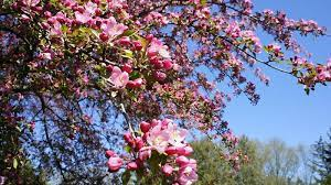 flowering trees of canada canada s
