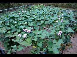 sweet potato plant flower. Simple Sweet 2014 Sweet Potato Flower Blossoms In Potato Plant Flower A