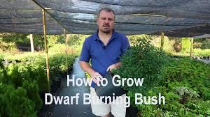 Burning Bush Size Chart How To Care For The Burning Bush Plant Dengarden
