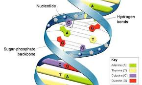 What Role Do Hydrogen Bonds Play In The Dna Molecule