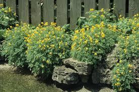 yellow fumitory